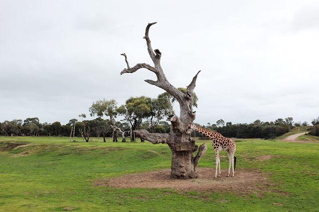 australia, melbourne, travel guide, travel, wanderlust, werribee open range zoo, giraffe, savannah, grassland,