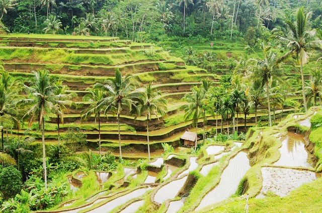 bali rice fields, bali, travel blog, on the way to kintamani, ubud, rice terrace, travel, wanderlust
