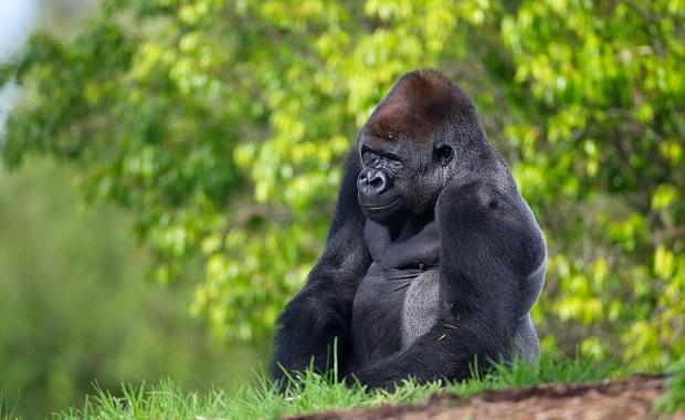 australia, melbourne, travel guide, travel, wanderlust, werribee open range zoo, gorilla, motoba, motoba the gorilla,