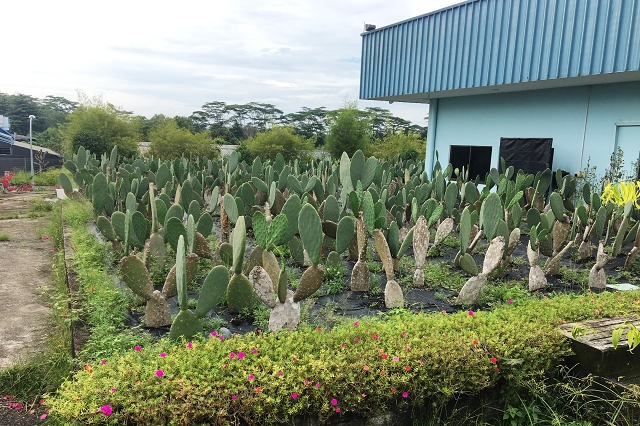 kin yan agrotech, mushroom farm singapore, wheatgrass farm, singapore, cactus, roselle fruits, aloe vera,